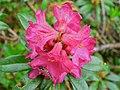 Alpenrose (Rhododendron ferrugineum) (8337454975).jpg