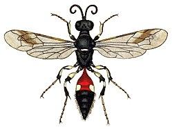 Alysson spinosus.jpg