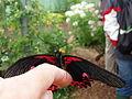 Amandabhslater - Butterfly (by-sa).jpg