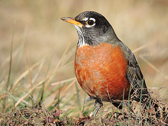 American robin - Male