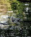 American crocodyle la manzanilla 05.jpg