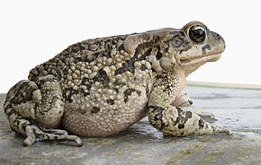 Description de l'image Amietophrynus rangeri Raucous toad Probable mature female IMG 3715.JPG.