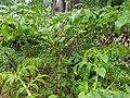 Amorphophallus paeoniifolius (Philippines) 1.jpg