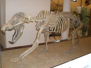 Amphicyon ingens, im American Museum of Natural History in New York.