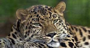 BiS-World LIVE 300px-Amur_Leopard_Pittsburgh_Zoo