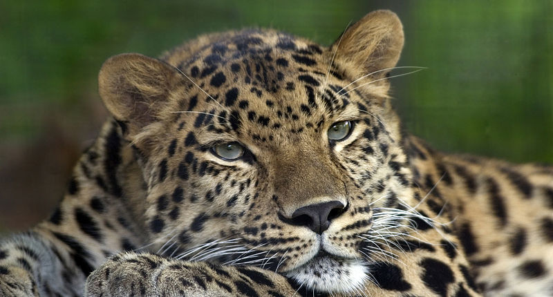 File:Amur Leopard Pittsburgh Zoo.jpg