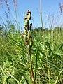 Anacamptis palustris (subsp. palustris) sl3.jpg