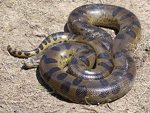Green anaconda - Image: Anaconda Loreto Peru