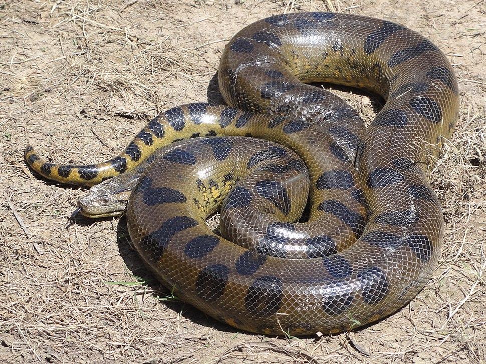Anaconda Loreto Peru