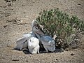 Anaho Island NWR juvenile American white pelicans (9685282673).jpg