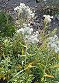 Anaphalis margaritacea kz01.jpg