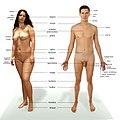 Anatomia czlowieka.jpg
