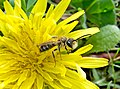 Andrena (26047990864).jpg