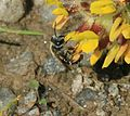 Andrena (Taeniandrena) wilkella - female - Flickr - S. Rae.jpg
