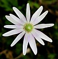 Anemone-caroliniana.jpg