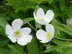 Anemone canadensis0.jpg