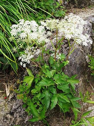 Angelica acutiloba - Angelica acutiloba subsp. iwatensis