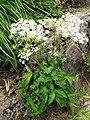 Angelica acutiloba subsp. iwatensis.JPG