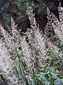 Angelica pubescens 0zz.jpg