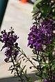 Angelonia angustifolia Pink & Purple 4zz.jpg