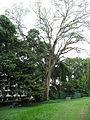 Angsana Tree at Youngberg Terrace 2.JPG