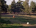 Animals grazing in a summer landscape - late afternoon (3893477305).jpg
