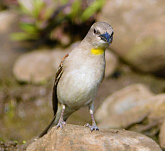 Yellow-throated sparrow - Showing the yellow throat