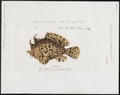 Antennarius lioderma - 1700-1880 - Print - Iconographia Zoologica - Special Collections University of Amsterdam - UBA01 IZ13600215.tif