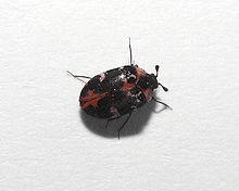 Occasional Invaders - Carpet Beetle