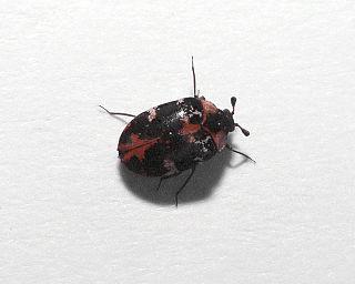 <i>Anthrenus scrophulariae</i> species of beetle