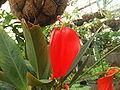 Anthurium scherzerianum.jpg