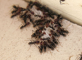 Myrmomancy - The eating behavior of ants as a sign of what is to be