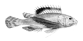 Apistus carinatus (Day).png