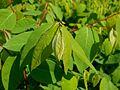 Apocynum androsaemifolium 2017-05-23 0642.jpg