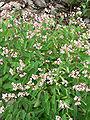 Apocynum androsaemifolium var androsaemifolium 2.jpg