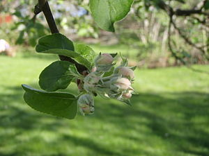 Some apple flowers in an early stage