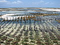 Aquakulturen Rotalgen Sansibar 1.jpg