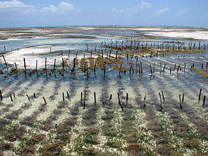 Aquakulturen Rotalgen Sansibar 1
