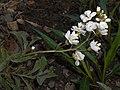 Arabis caucasica Flore Pleno 2016-04-22 8628.JPG