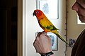 Aratinga solstitialis -pet perching on finger-8a.jpg