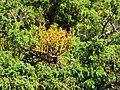Arceuthobium azoricum over Juniperus brevifolia branch.jpg