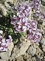 Arctic Flowers - 17 (7569401694).jpg