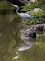 Ardea cinerea (Grey heron) with water reflection in the park of Kinkaku-ji Kyoto Japan.jpg