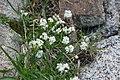 Arenaria montana, Pyrenees.JPG