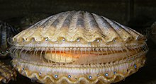 A live individual of Argopecten irradians, family Pectinidae