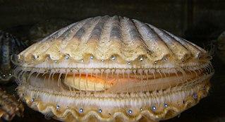Scallop Common name for several shellfish, many edible