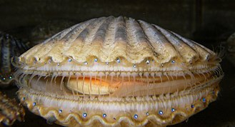Scallop - Argopecten irradians, the Atlantic Bay scallop