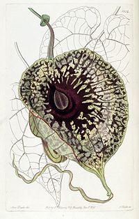 Aristolochia grandiflora (A. foetens) Edwards's Bot. Reg.21.1824.1836