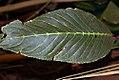 Aristolochia littoralis 6zz.jpg