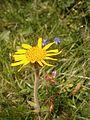 Arnica montana RHu 02.JPG
